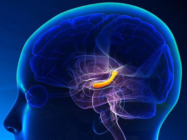 наши воспоминания содержатся в гиппокампе